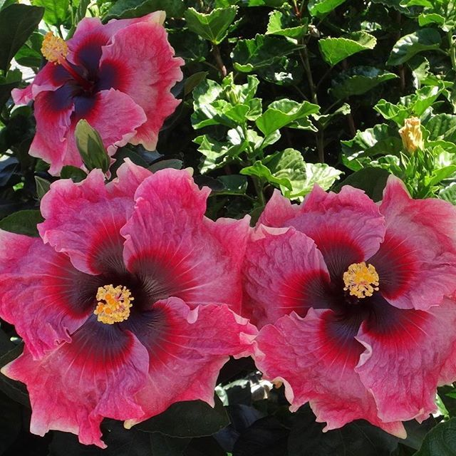 Colorlicious Hibiscus Gardens Colorlicioushibiscus Instagram Photos And Videos Hibiscus Flower Drawing Hibiscus Flowers Hibiscus