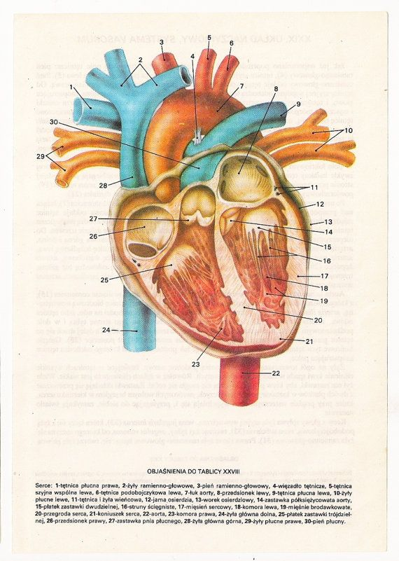 anatomically correct heart anatomy poster old page print
