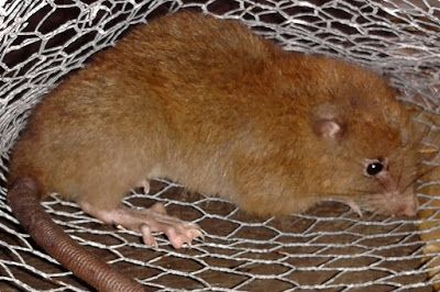 Uromys Vika Newly Discovered Rat Species