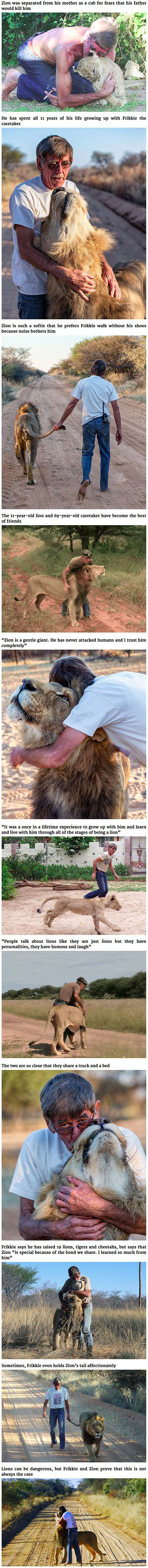 It goes without saying that you should be careful around lions and other wild animals, but that doesn't mean that they are un-feeling, cold-blooded killers. Frikkie Von Solms, a 69-year-old lion caretaker in Southern Africa, knows this perfectly well: he has spent the last 11 raising Zion, a gentle, tender and loving African lion.