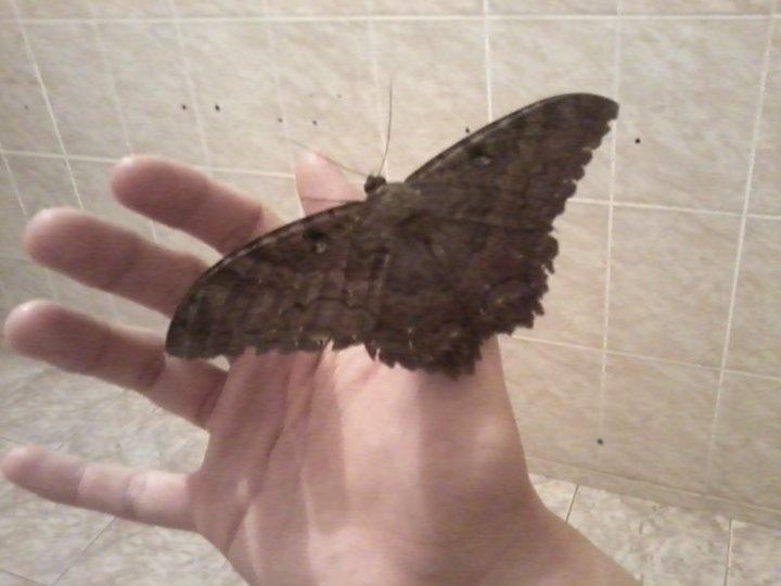 Uma mariposa grande.