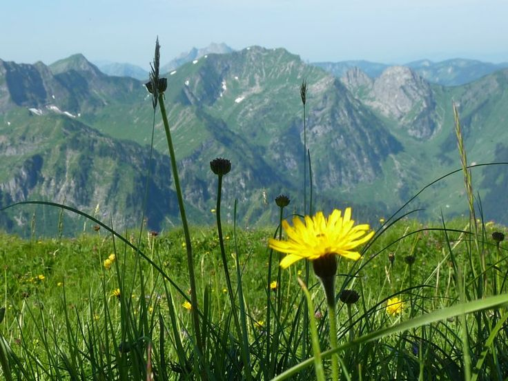 wild flowers high in the Alpes
