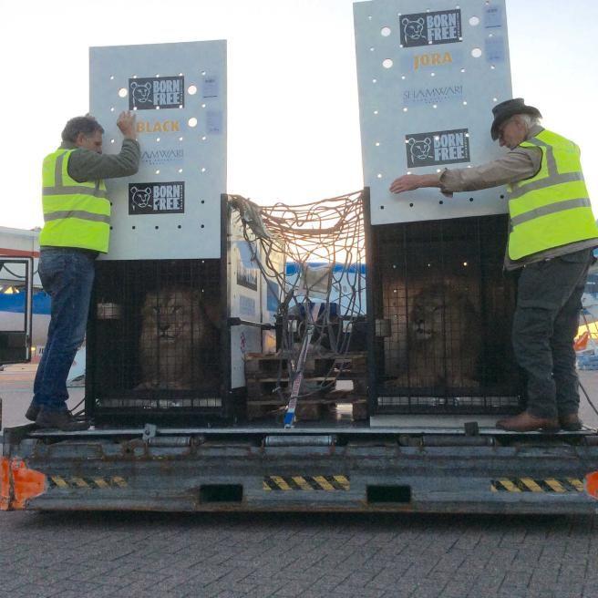 I leoni Jora e Black finalmente liberi dopo una vita passata in un circo bulgaro.