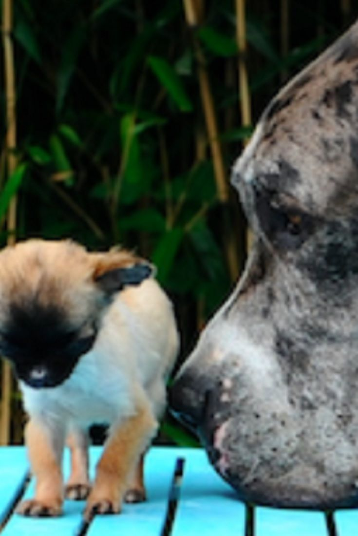 Mighty Great Dane Falls In Love With A Teeny Tiny Chihuahua Video Dog Expressions Every Dog Breed Cute Dog Pictures