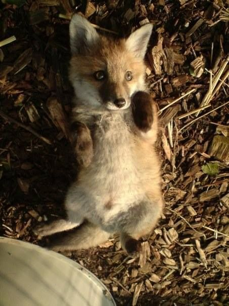 Fox | Vixen | Tod | Renard | лисица | Zorro | 狐 | Sionnach | kit