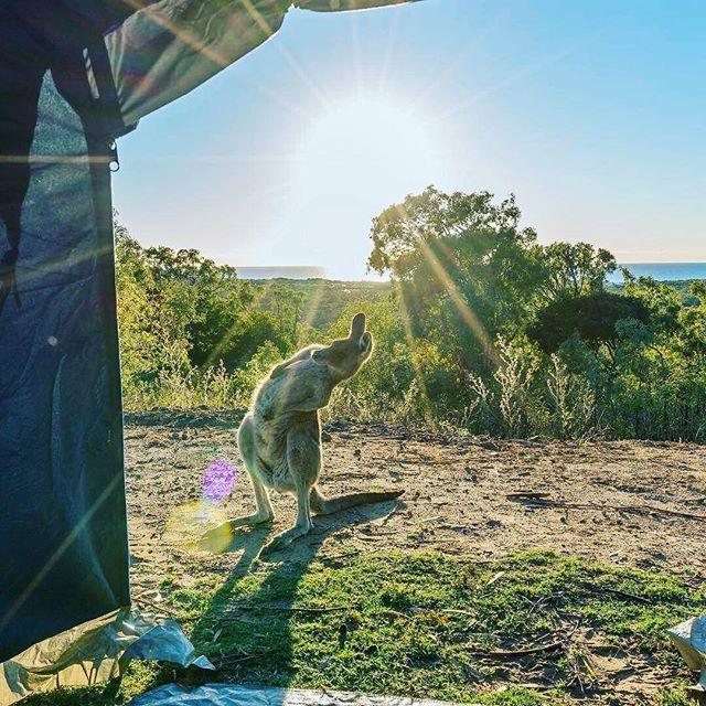 【australia.jp】さんのInstagramをピンしています。 《#オーストラリアの動物 #朝 の#ヨガ レッスン。 #クイーンズランド州 (@queensland) グラッドストーン (@gladstoneregion) にある街・1770で #キャンプ をしていたら、ストレッチをしている #カンガルー に遭遇。 南グレートバリアリーフ (@southerngreatbarrierreef)の玄関口ですが、#オーストラリア の #動物 たち、#コアラ や #ハリモグラ、#バンディクート、#ポッサム など、#海 以外の楽しみもたくさんありますよ☆ (Photo: @adventureblueprint)》