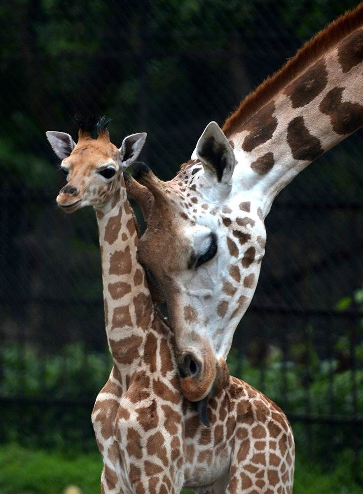 Cuddle time A mother giraffe licks her 20-day-old baby giraffe calf and stays close to him at the Alipore Zoological Garden in Kolkata, India, on June 10.