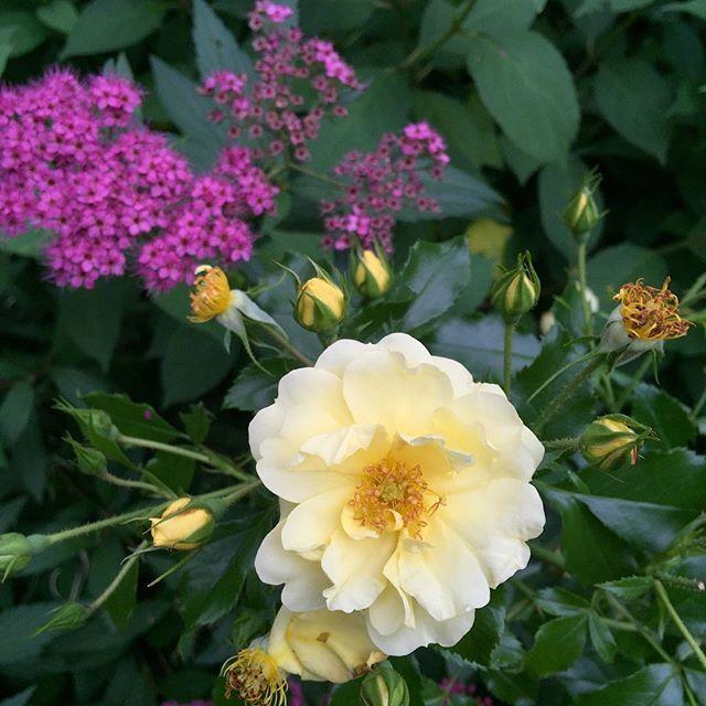 Neuer Rosenblog auf 👉gartenclub.com 👈Junigarten=Rosenzeit 🌸 #rose #schattengarten #rosenzeit #gartenliebe #instagarden