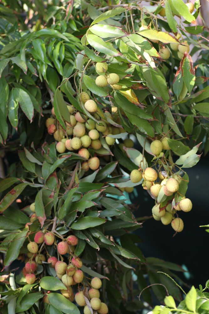 Lychee plant fruits - How to grow Lychee plant, growing Lychee tree in your garden http://www.growplants.org/growing/lychee-tree