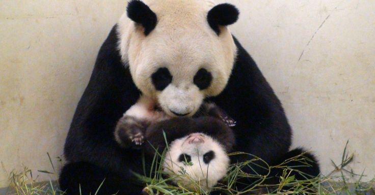 Yuan Zai, filhote de panda gigante nascido em 7 de julho, brinca com a mãe no zoológico de Taipé (Taiwan). Ele é filho dos pandas Yuan Yuan e Tuan Tuan e nasceu por meio de inseminação artificial