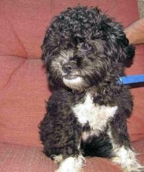 Bartels is an adoptable Poodle Dog in Houston, TX. Bartels is a black and white Poodle mix; perhaps with a little Shih Tzu or Lhasa Apso.  He was found as a stray and brought to Poodle Rescue of Houst...