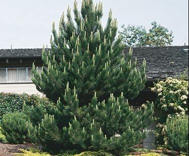 plants - evergreens shrubs