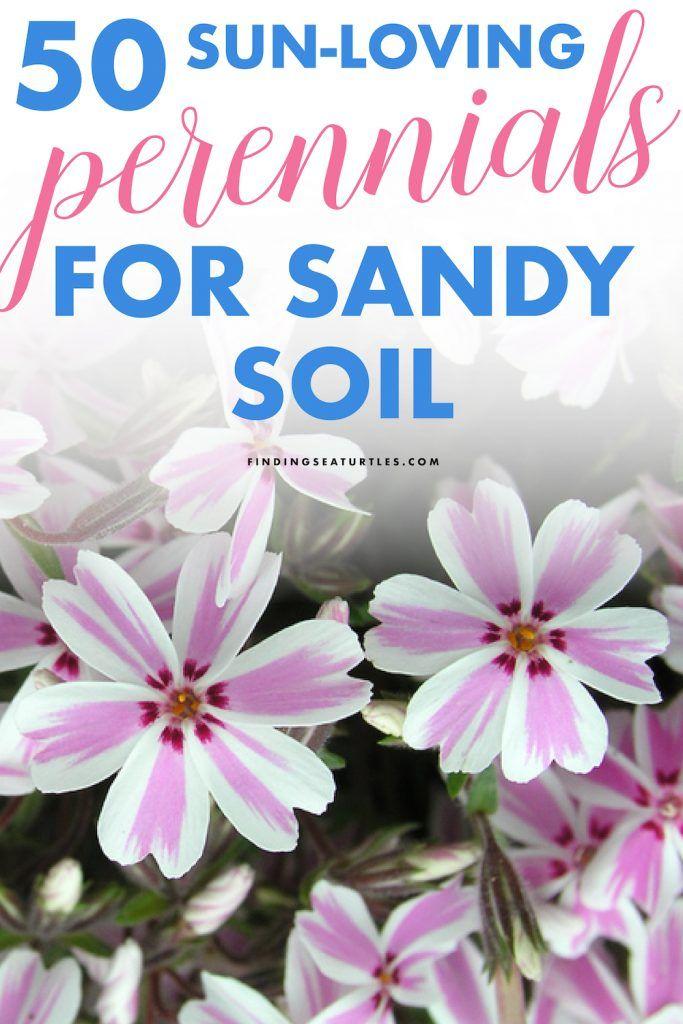 50 Sandy Soil Perennials That Like Sun Finding Sea Turtles Planting In Sandy Soil Sandy Soil Best Perennials