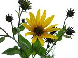 Jerusalem Artichoke flowers, interesting article on how to grow these lovely veggies
