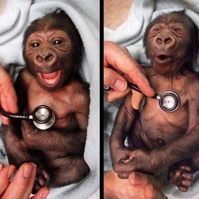 OOOO. cold.: Babies, Animals, Funny, Cold Stethoscope, Newborn, Monkey, Baby Gorilla