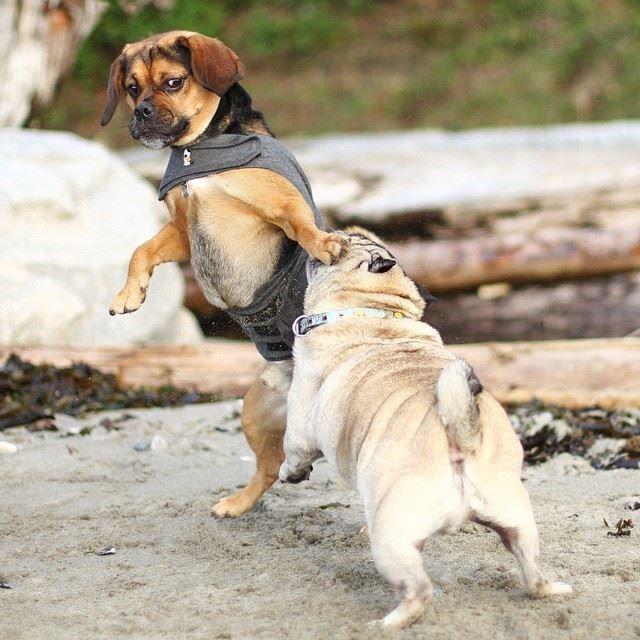 Cómo evitar una pelea entre perros durante el paseo