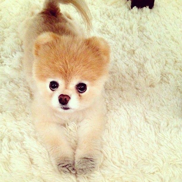 Dog Breed That Looks Like A Rug: 44 Best Pomeranians