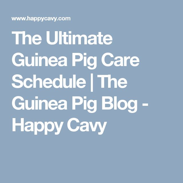 The Ultimate Guinea Pig Care Schedule | The Guinea Pig Blog - Happy Cavy