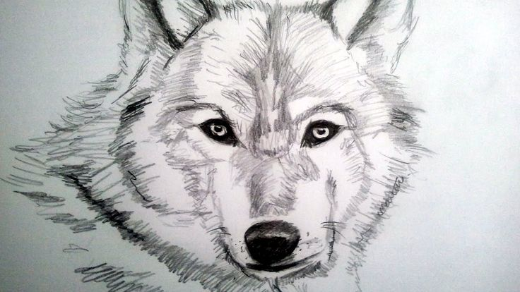 how to draw a realistic wolf with pencil step by step: how to draw hairy...