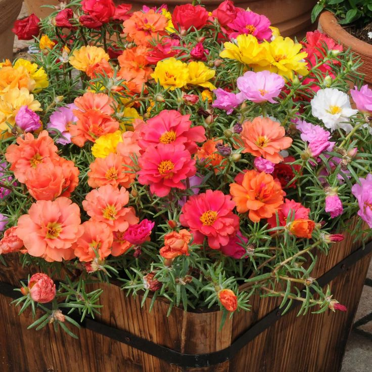 Portulaca Mixed - Annual Bedding Plants - Van Meuwen