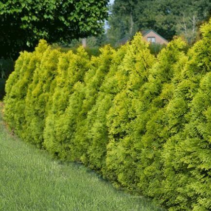 Thuja Lebensbaum 'Golden Smaragd',1 Pflanze