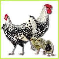 Tavuk Irkları Tablosu - KANATLİEVİM:COM