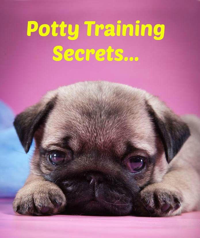 Want to learn a few #Pug potty training secrets? Learn these and many other dog training secrets using these hands-off methods. Click here to read more>> http://www.dog-names-and-more.com/hands-off-dog-training.html