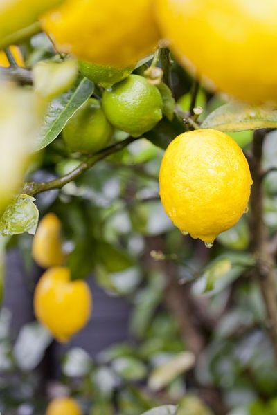 Best 25 lemon tree plants ideas on pinterest lemon for How do you plant lemon seeds