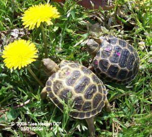 Russian Tortoise hatchlings eating dandelion