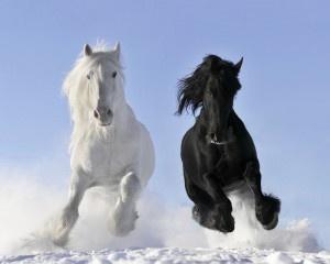 Weißer und schwarzer Pferd
