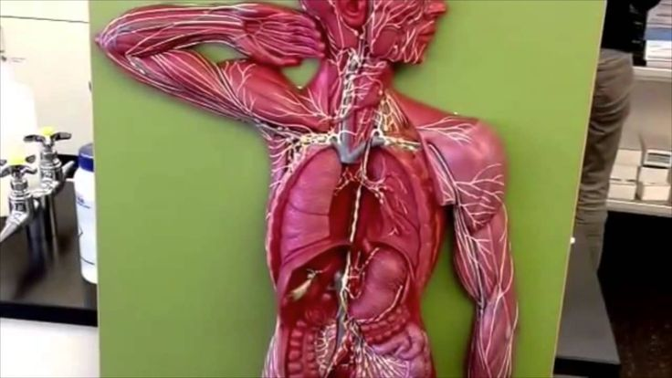 7 best Anatomy & Physiology Lab Models images on Pinterest | Lab ...