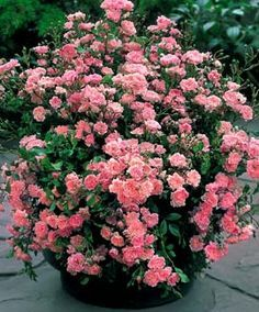 Fairy rose - best shrub rose ever. Can't kill it, blooms its head off all summer says pinner.