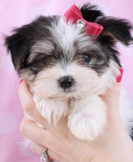 17 best Biewer Yorkshire Terriers at TeaCups, Puppies ...
