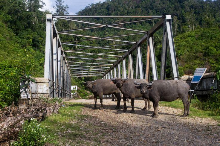Buffaloes, Sumatra