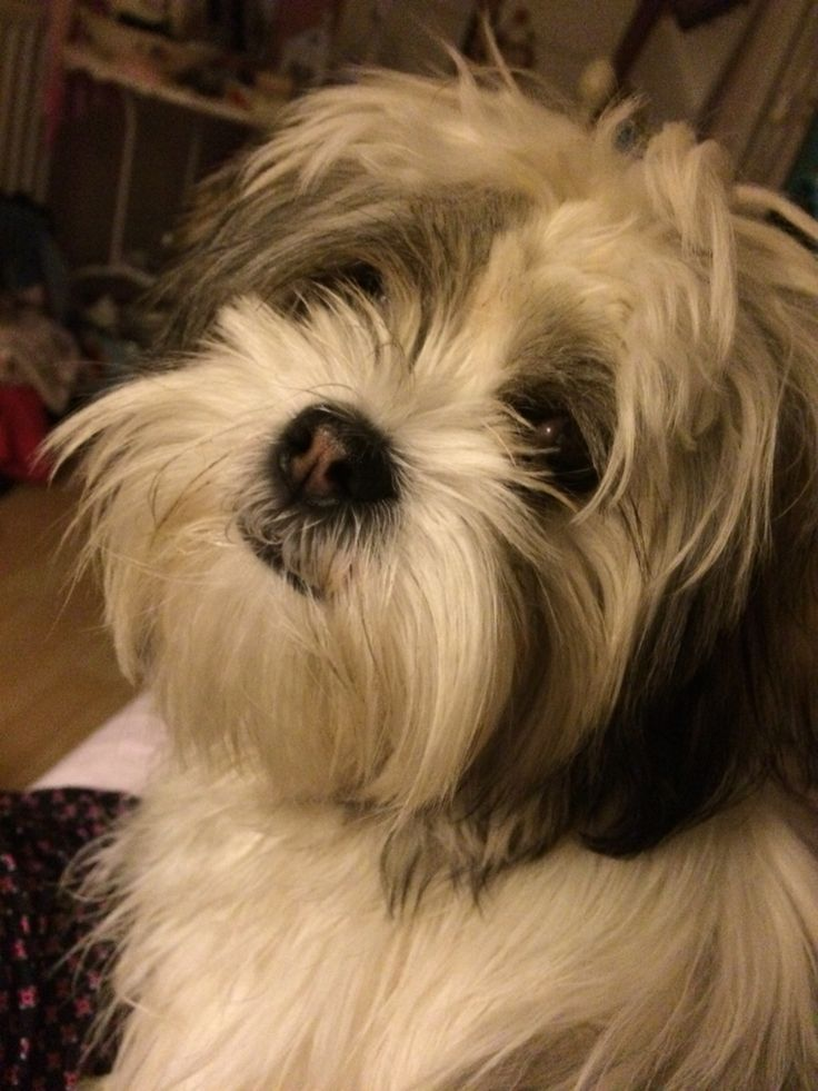 Picture of shaved lhasa apso-1257