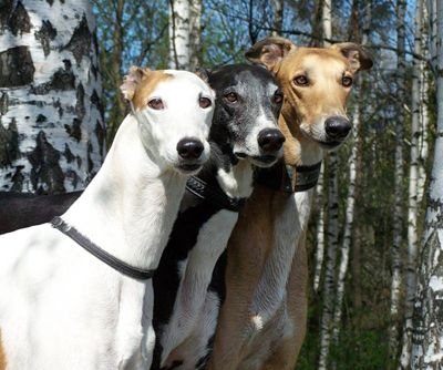 The Greyhound is strongly built, elegant dog with the excellent proportions.