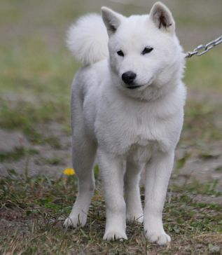 Here's the Hokkaido Inu, also known as the Ainu ken, another cousin of the Shiba.