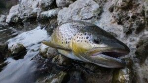 Brown trout fly fishing in Slovenia