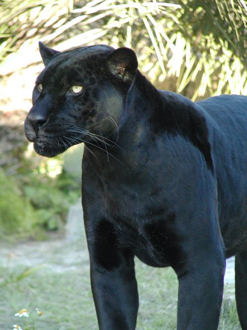 When I was little I dreamed of havin a pet Panther named Zeke:) ...Still do.....