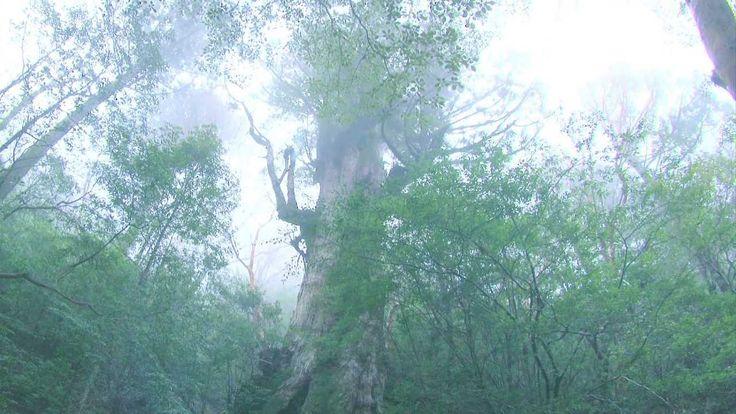"""""""屋久島の荒川登山口から縄文杉までのトレッキングコースを2日間かけて撮影しました。"""" 屋久島をストリートビュー https://www.youtube.com/watch?v=GIuayxQSVzc (HD(右下歯車⇒画質1080p)&全画面(右下正方形)がおすすめです)"""