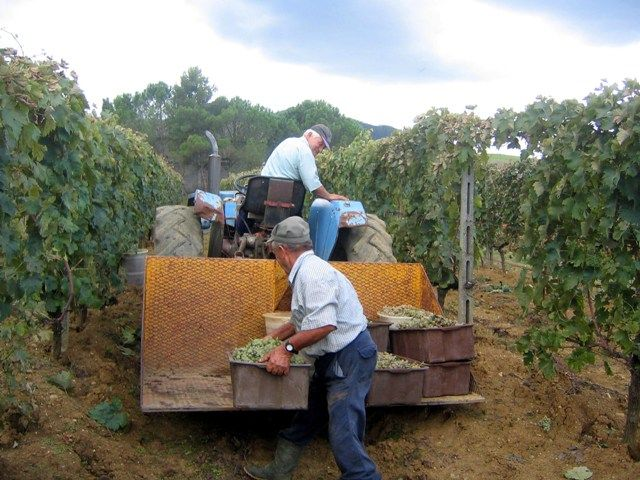 The grape harvest at the farmhouse Le Selvole - Tuscany
