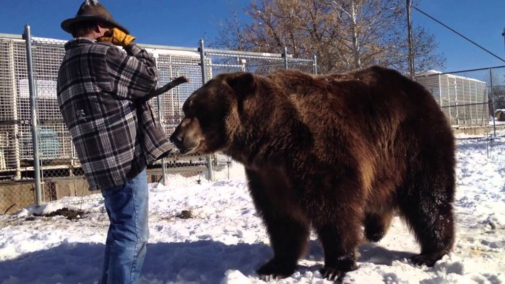 Doug Seus, the owner and trainer of Bart the Bear, talks about how Bart started living with him and how he handles working with an animal that weighs more th...