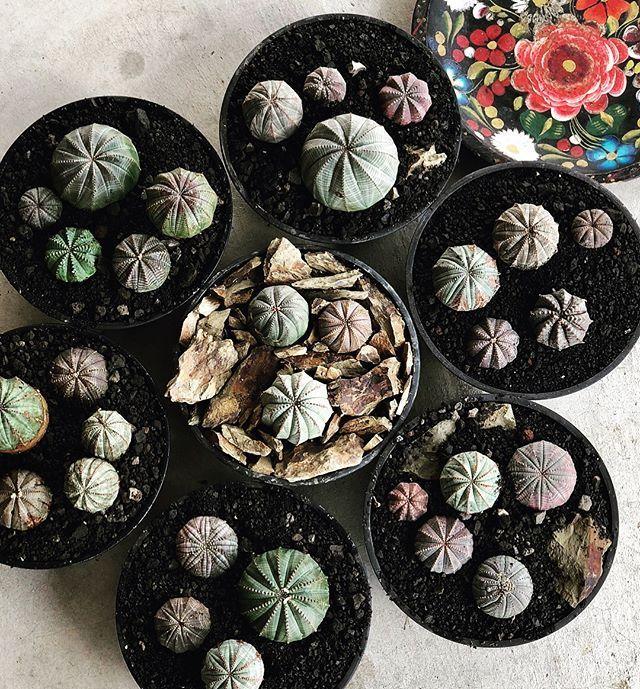 . . . . . . #euphoria #obesa #barrida #cactus #cacti #caudex #plants #flower #botanical #fashion #music #rock #specimenresearchlaboratory #neighborhood #ユーフォルビア #塊根 #コーデックス #ヴィンテージ #アンティーク #ファッション #ボタニカル #ボタニカルアート #ボタニカルライフ #アガベの山 #芽の巣山 #たけろうポット #cactusflower