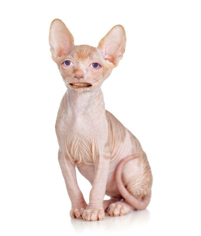 Human cat