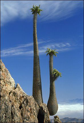 Halfmens plant in the Richterveld region of the Northern Cape.