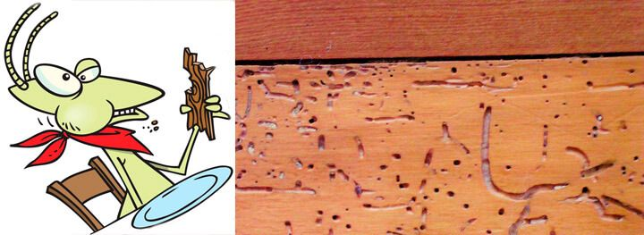 Drywood termites swarm alates, constitution and biology