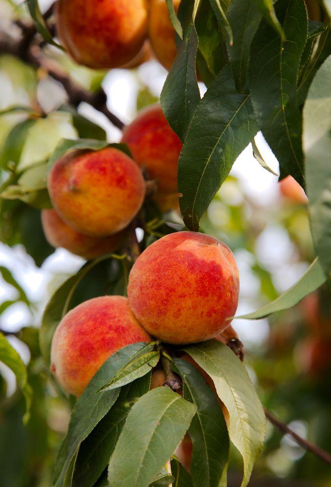 How To Grow Great Peaches Peach Pruning Peach Trees Peach Trees