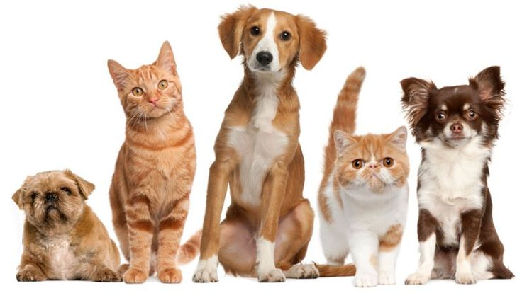A pet is an animal maintained mainly for Person company, human protection, and entertainment. Popular as pets are often noted for their attractive appearances and their loyal or playful personalities. Pet offers physical and emotional benefits to homeowners.