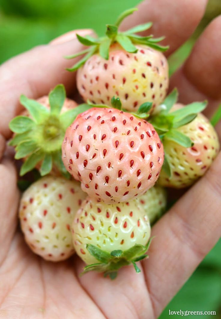 How to grow white strawberries, also known as 'Pineberries'. Very similar to ordinary strawberries, they are smaller and have a citrusy kick