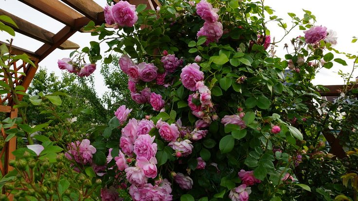 Плетистая роза Jasmina